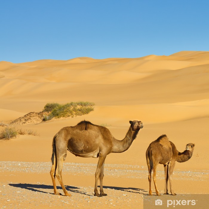 Sticker Pixerstick Chameaux dans le désert - Awbari mer de sable, désert du Sahara, la Libye - Désert
