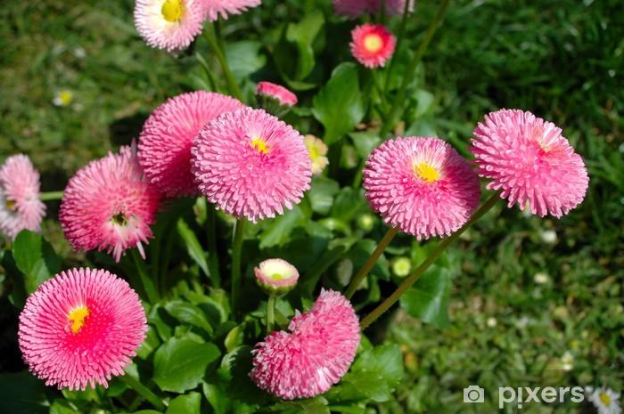 Fototapeta winylowa Różowe stokrotki na łące - Kwiaty