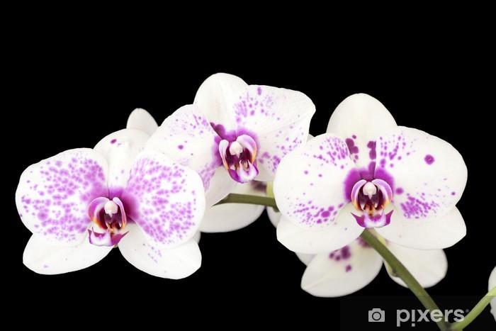 Fiori Orchidea Bianchi.Carta Da Parati Tre Fiori Di Orchidea Bianchi E Viola Su Nero