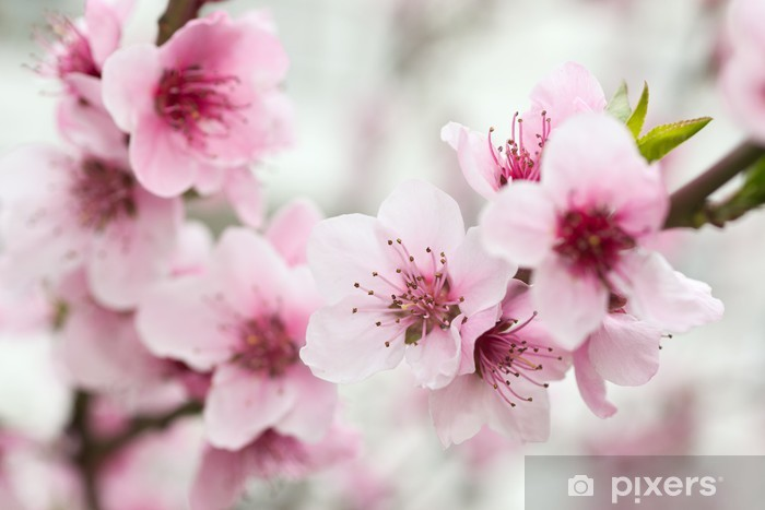 Blooming tree in spring with pink flowers Vinyl Wall Mural - Themes