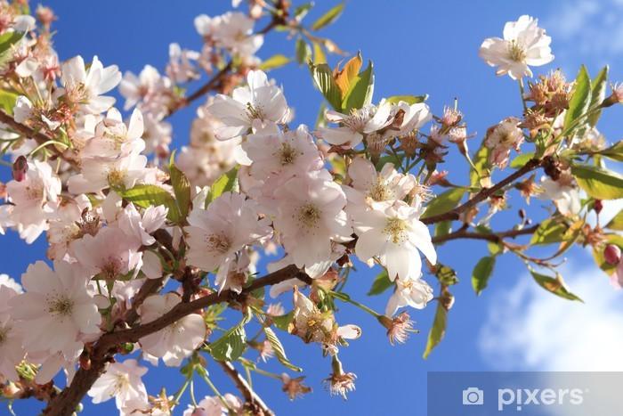 Kirschen japanische Japanische Mandelkirsche