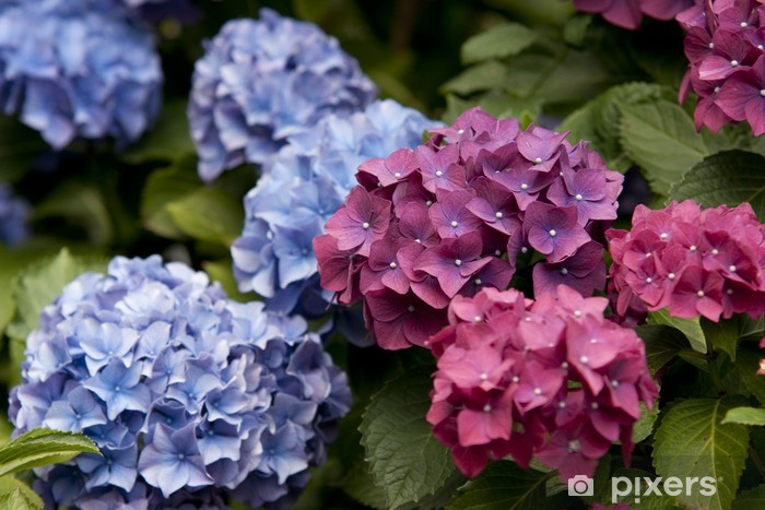 Fototapeta winylowa Blooming Hydrangea - Pory roku