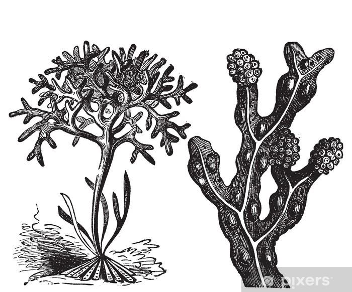 Poster Chondrus crispus, mousse d'Irlande ou Fucus, fucus - Fleurs