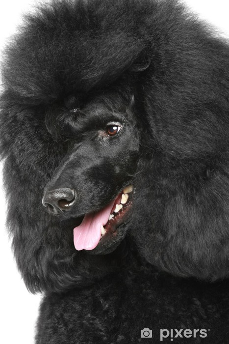 Black Royal poodle portriat Vinyl Wall Mural - Mammals