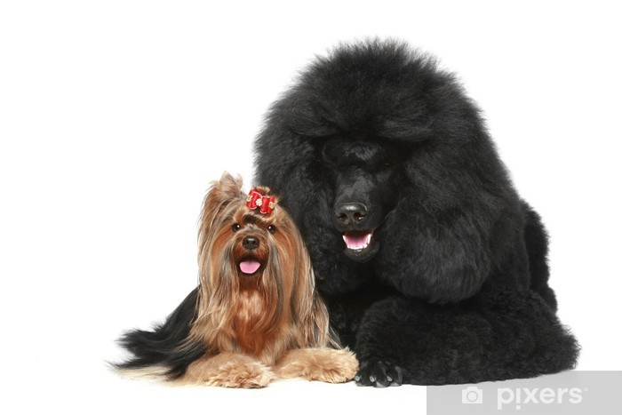 Fototapeta winylowa Pudel Królewski i yorkshire terrier - Ssaki