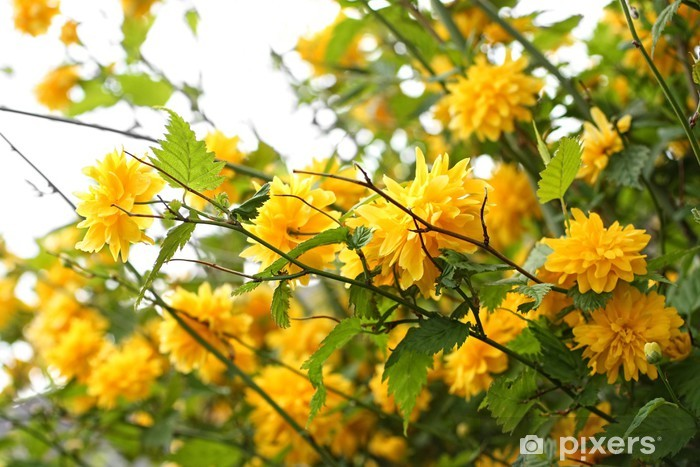 Beautiful Yellow Flowers On The Spring Bush Wall Mural Pixers