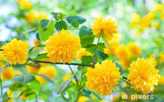 Spring Bush With Yellow Flowers Wall Mural Pixers We Live To