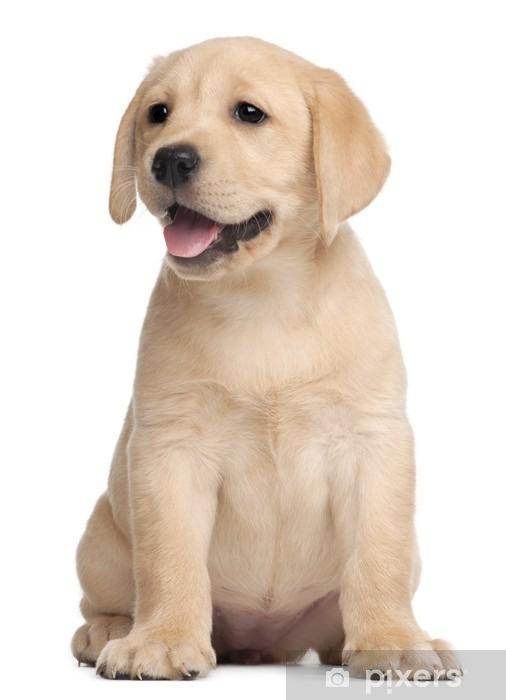 Naklejka Pixerstick Labrador puppy, 7 tygodni, z przodu białe tło - Naklejki na ścianę