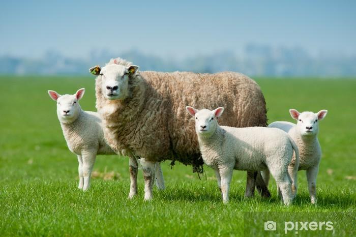 Papier peint vinyle Moutons mère et ses agneaux au printemps - Mammifères
