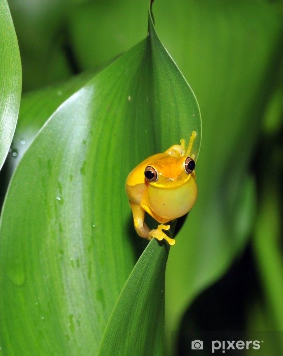 frog, yellow hourglass tree frog, costa rica Pixerstick Sticker - Other Other