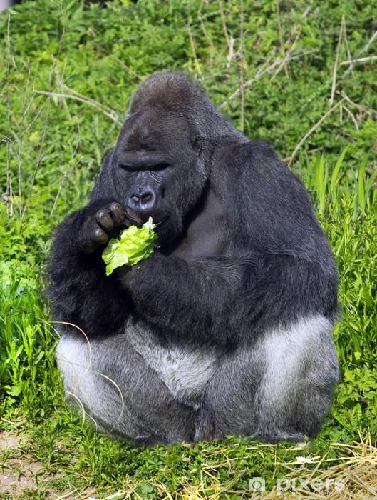 55717d2175ead Fototapete A Westlichen Flachlandgorillas Silber zurück männlichen Gorilla