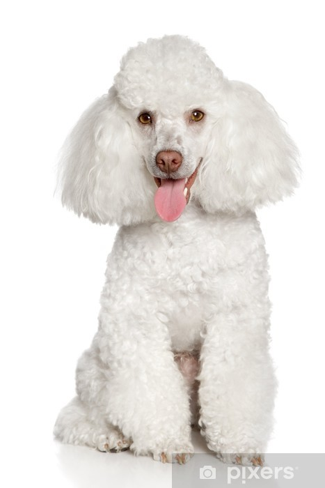 White poodle puppy. Isolated on a white background Vinyl Wall Mural - Mammals