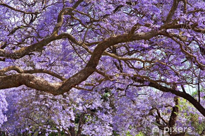 jacaranda trees wall mural • pixers® • we live to change