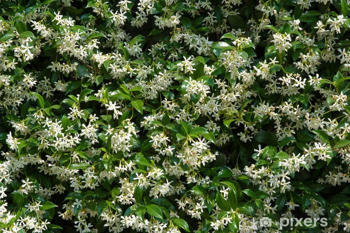 Naklejka Pixerstick Ściana z białych kwiatów jaśminu z tle zielonych liści - Kwiaty