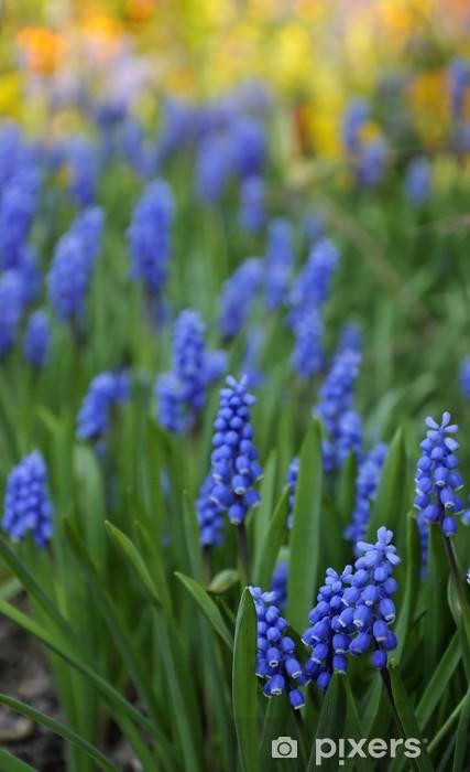 Naklejka Pixerstick Wiosna Muscari kwiaty z kolorowym tle - Kwiaty