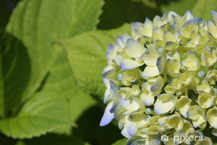 Nálepka Pixerstick 青 い あ じ さ い の 花 - Květiny
