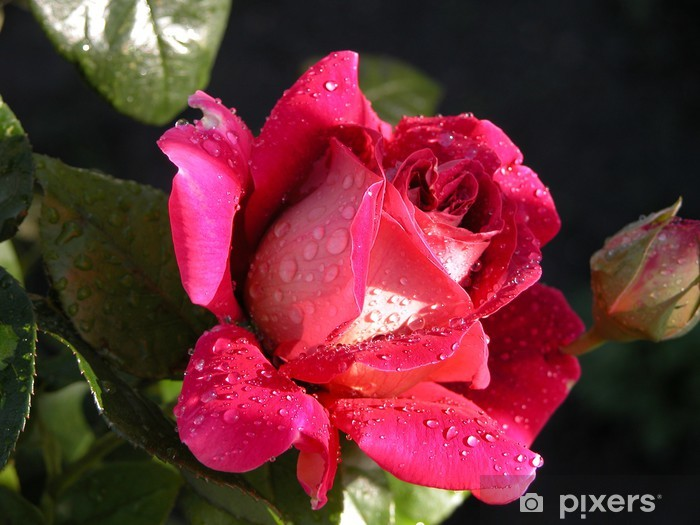 Fototapeta winylowa Royal Rose - Tematy