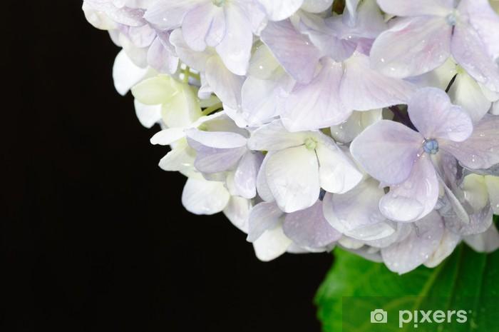 Sticker Pixerstick 黒 背景 の ア ジ サ イ - Fleurs