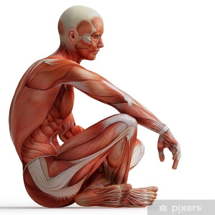 Fototapet av vinyl Anatomi, muskler - Medisin og Helse