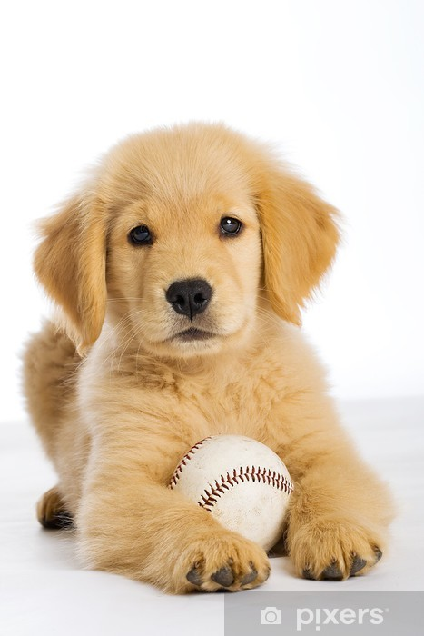 Golden Retriever Puppy with a baseball Self-Adhesive Wall Mural