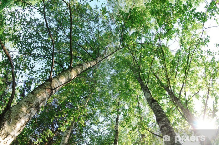 birch trees Pixerstick Sticker - Trees