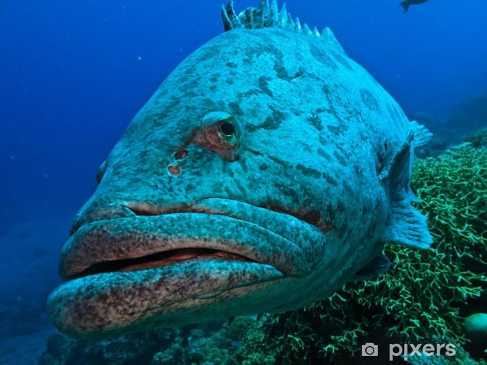 Giant Cod at Great Barrier Reef Australia Vinyl Wall Mural - Underwater