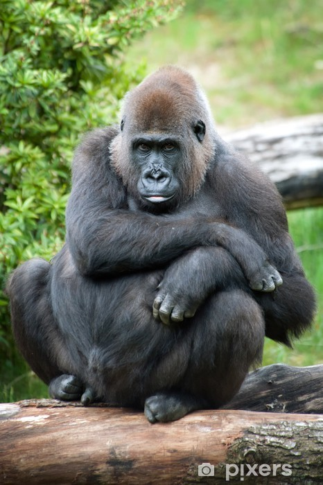 97147077374b9 Fototapete Weiblichen Gorilla Silberrücken • Pixers® - Wir leben