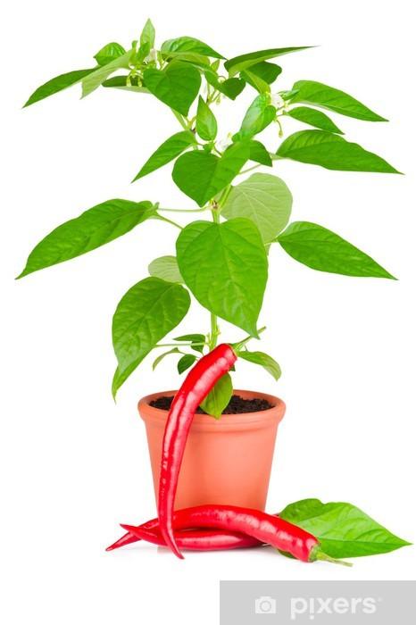 Papier peint vinyle Usine de piment de plus en plus dans un pot en céramique et le piment rouge - Repas