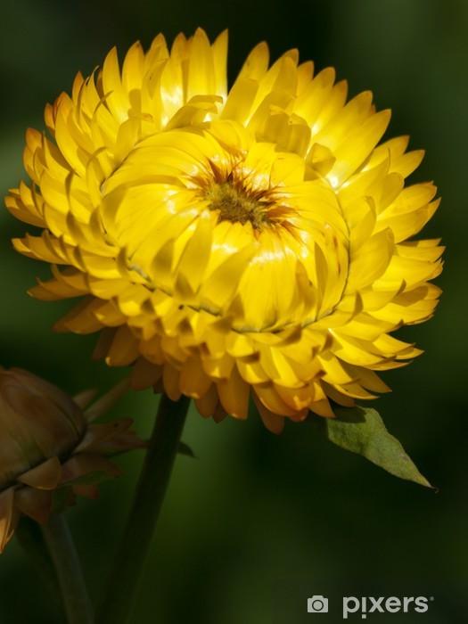 Fototapeta winylowa Kocanka ogrodowa - Kwiaty