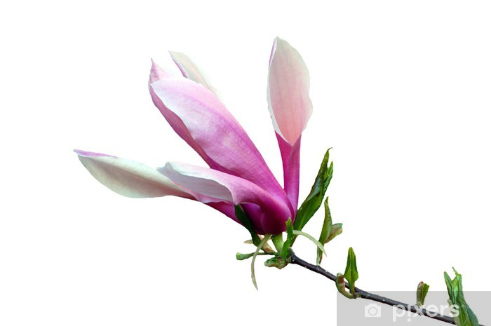 Fototapeta winylowa Kwiat magnolii - Dom i ogród