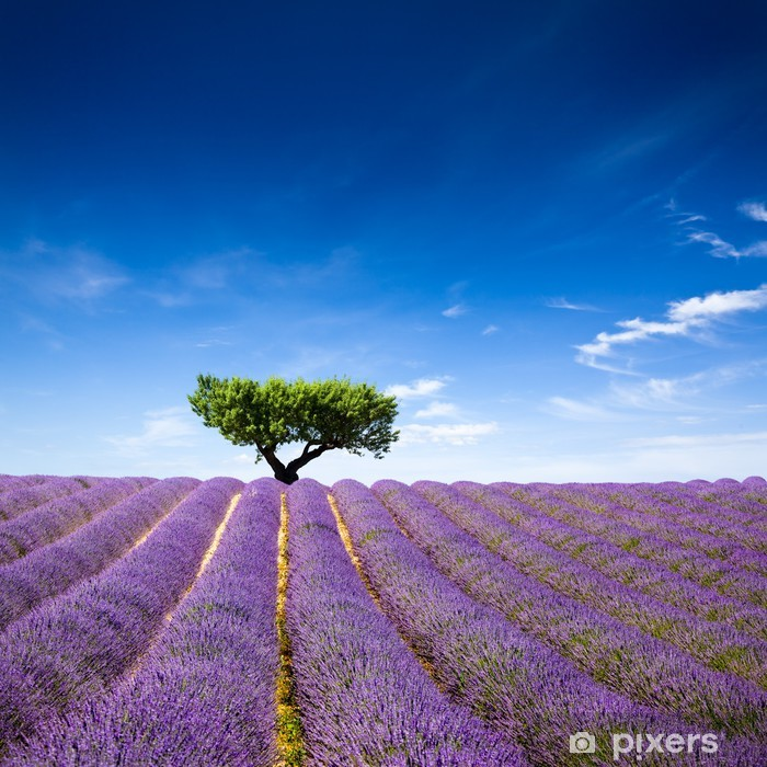 Lavande Provence France / lavender field in Provence, France Vinyl Wall Mural - Herbs