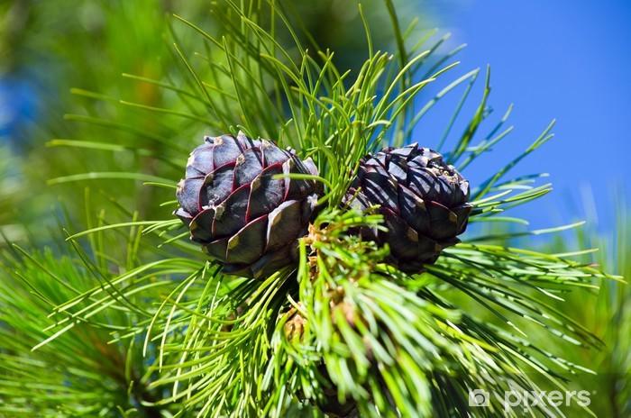Fototapeta winylowa Cedru syberyjskiego. Młody szyszki sosna syberyjska w czerwcu. - Drzewa