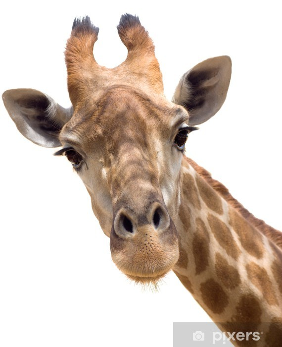 Vinyl-Fototapete Giraffe closeup - Wandtattoo