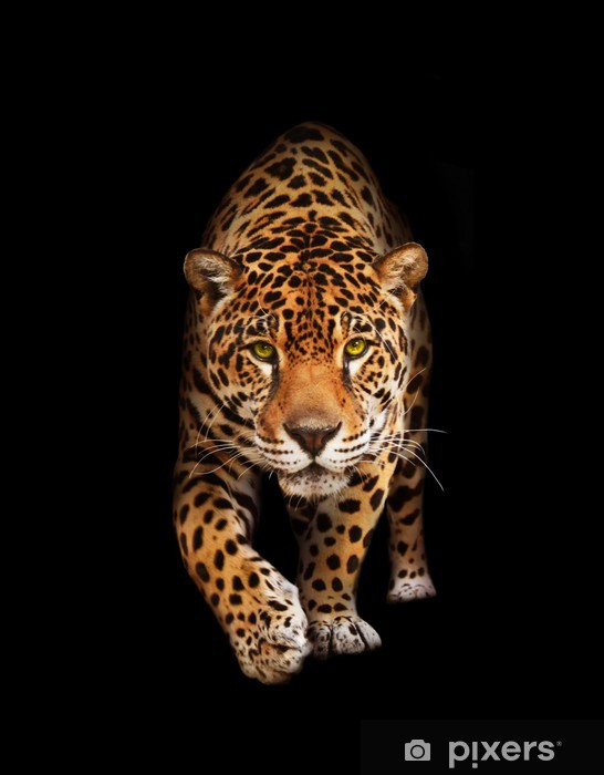 Jaguar in darkness - front view, isolated Pixerstick Sticker -