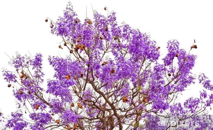 jacaranda mimosifolia, flambloyant bleu wall mural • pixers® • we