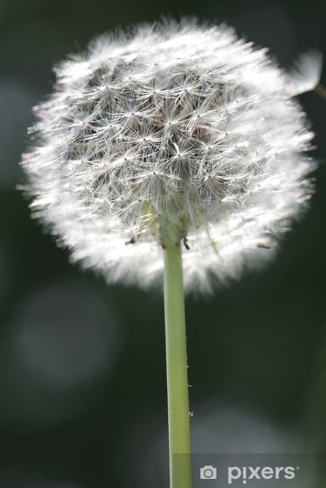 Naklejka Pixerstick Świetlny dandelion pierzasty - Tematy
