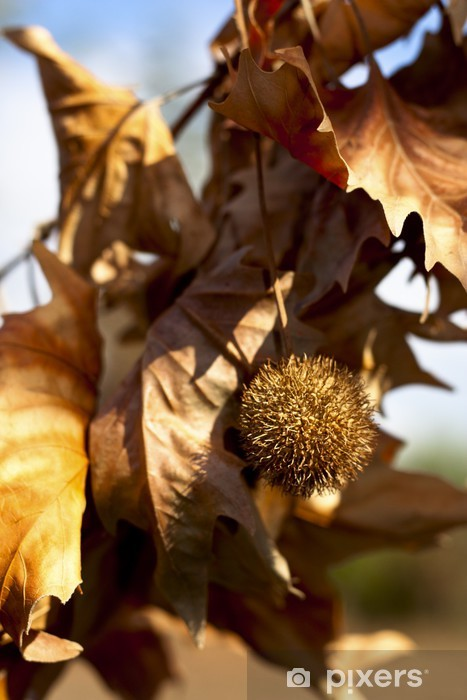 Fototapeta winylowa Chestnut Bur żółte liście na gałęzi - Pory roku