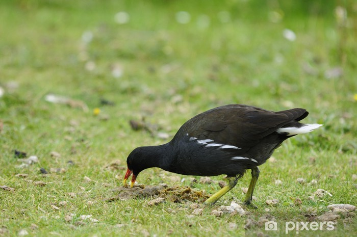 Fototapeta winylowa Kokoszka - Ptaki