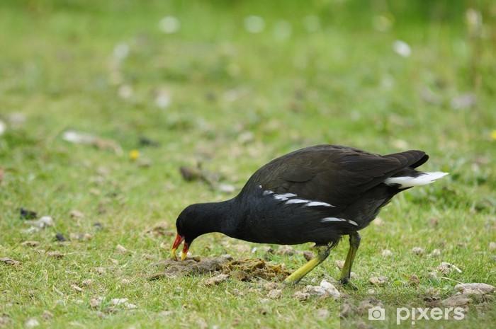 Teichhuhn Pixerstick Sticker - Birds
