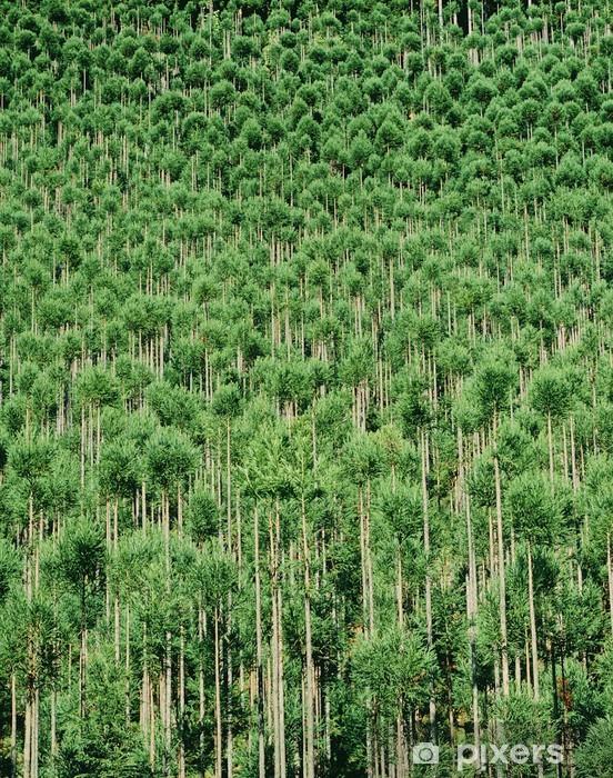 Fotomural Estándar 北山 杉 - naturaleza