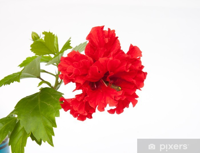 Red Full Blossom Malvaceae Hibiscus Flower With Green Leaves Wall