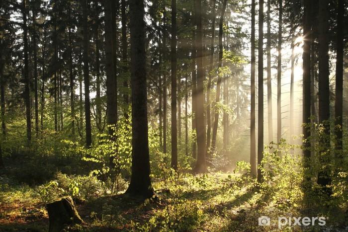 Fototapeta winylowa Misty bór podświetlany przez porannym słońcu - Tematy