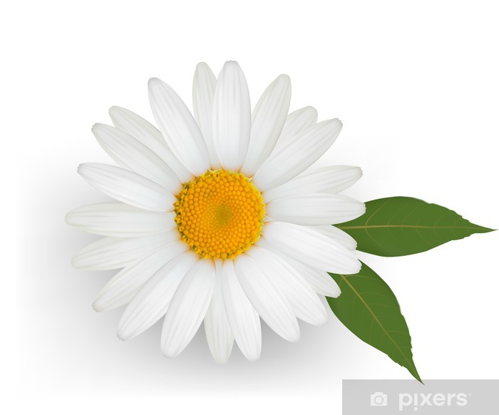 Beautiful Daisy Flower With Leaves Vector Vinyl Wall Mural Flowers