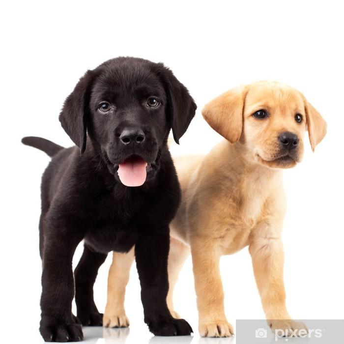 Poster en cadre Deux adorables chiots labrador - Sticker mural