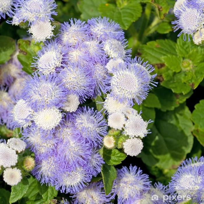 Plakat Leberbalsam - Ageratum houstonianum - Kwiaty