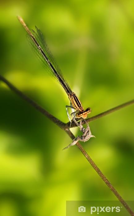 Fototapeta winylowa Damigella (Platycnemis pennipes) - Pory roku