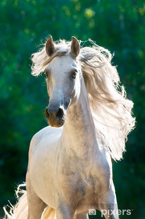 carte da parati cavallo bianco corre davanti al galoppo.jpg