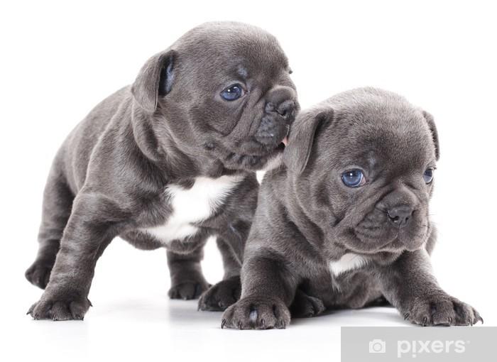 Fotomural Estándar Perro bulldog frances cachorro - iStaging