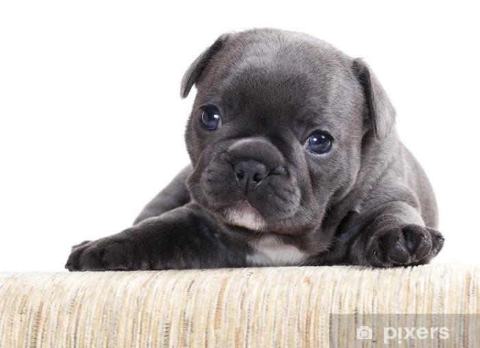 französische bulldogge welpen österreich