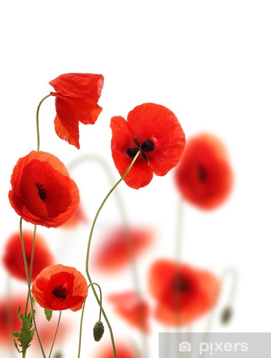 Poppy flowers field, isolated on white background Vinyl Wall Mural - Flowers